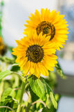 Two sunflowers. In the garden in a sunny day Royalty Free Stock Photos