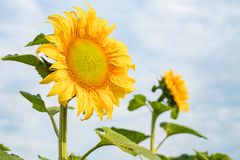 Two sunflowers with selected focus on peaceful sky background. The Two sunflowers with selected focus on peaceful sky background Stock Image