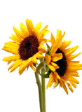 Two sunflowers on white Stock Images