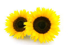 Two sunflowers on white background. Two sunflowers isolated on white background stock image