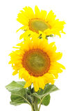 Two sunflowers. Royalty Free Stock Images