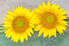 Two sunflowers on wooden background Royalty Free Stock Photo