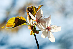 Two sunlit cherry flowers Royalty Free Stock Image