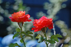 Two sunlit red roses. Royalty Free Stock Photo