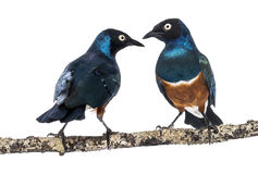 Two Superbs Starling on a branch - Lamprotornis superbus Stock Image