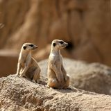 Two suricata standing alert. Suricate couple over a brown rock stock images