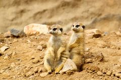 Two Suricata suricatta Royalty Free Stock Images