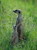 Suricates frolicking in the green grass of Africa. Two suricates, also known as a meerkat or meer cat royalty free stock images