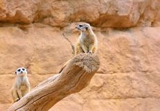 Two suricates on dry tree Stock Images