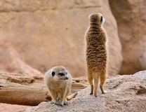 Two suricates on rock formation on background Royalty Free Stock Photos