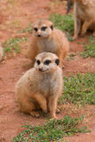 Two Suritcates, or Meerkats (Suricata suricata) Stock Photography