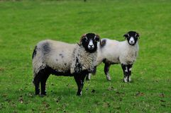 Two Swaledale sheep. Royalty Free Stock Photography
