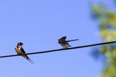 Two swallow birds Stock Photos