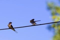 Two swallow birds stock photos