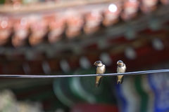 Two swallow birds Royalty Free Stock Photo