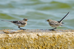 Two swallows are negotiating. On the beach Royalty Free Stock Image