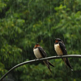 Two swallows in rain. Waiting when the rain stops Stock Photo