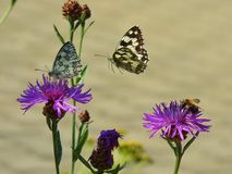 Two swallowtail butterflies and a bee Stock Image