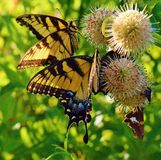Two Swallowtail Butterflies Stock Image