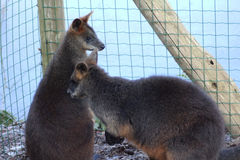 Two Swamp wallaby Stock Image