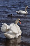 Two swan Stock Images