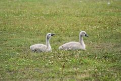 Two swan kids Royalty Free Stock Photos