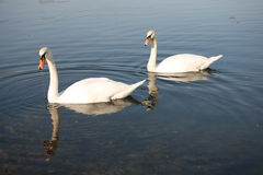 Two swan on lake Royalty Free Stock Photos
