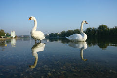 Two Swan in Lake Water Reflection Stock Images