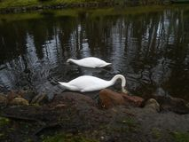 Two swan Stock Image