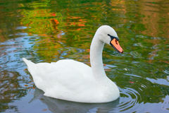 Two swan on water Stock Images