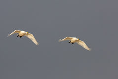 Two swans stock photography