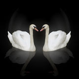 Two swans. Twa floating swans with reflections over black background Stock Photography