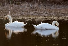 Free Two Swans Stock Image - 1580221