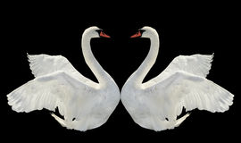 Two swans. Royalty Free Stock Images