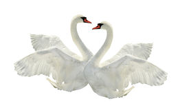 Two swans. Royalty Free Stock Image