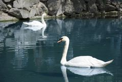 Free Two Swans Royalty Free Stock Photo - 2643095