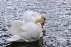 Two swans Royalty Free Stock Photography