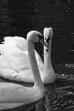 Two swans. On a sunny day in black and white Royalty Free Stock Image