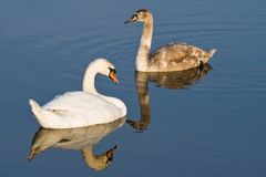 Two Swans, adult with kid Royalty Free Stock Photos