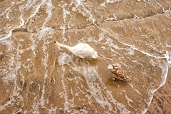 Two swans on the beach in winter Royalty Free Stock Photos