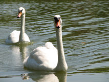Two swans Stock Photos