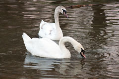 Two swans. Two beautiful swans swimming in the river Stock Photos