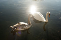 Two swans. Two beautiful swans swimming on water Stock Photography