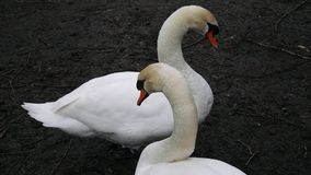 Two swans cleaning plumage stock video footage
