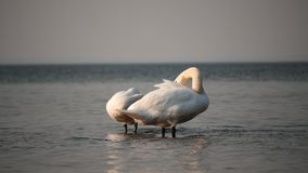 Two Swans cleaning plumage daytime time lapse. Swans cleaning plumage daytime time lapse with horizon line stock video
