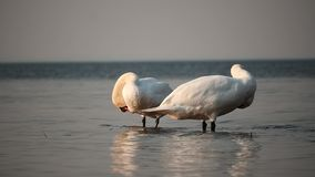 Two Swans cleaning plumage slow  motion. With horizon line stock footage