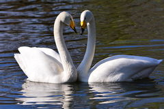 Two swans. The two swans are a couple, they show a love Stock Photos