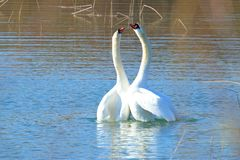Swans in courtship on the lake. Two swans in courtship on the lake stock photos