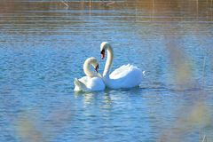 Swans in courtship on the lake. Two swans in courtship on the lake stock image