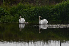Two swans with cygnets Royalty Free Stock Photography